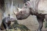 Носорог укусил туриста палец